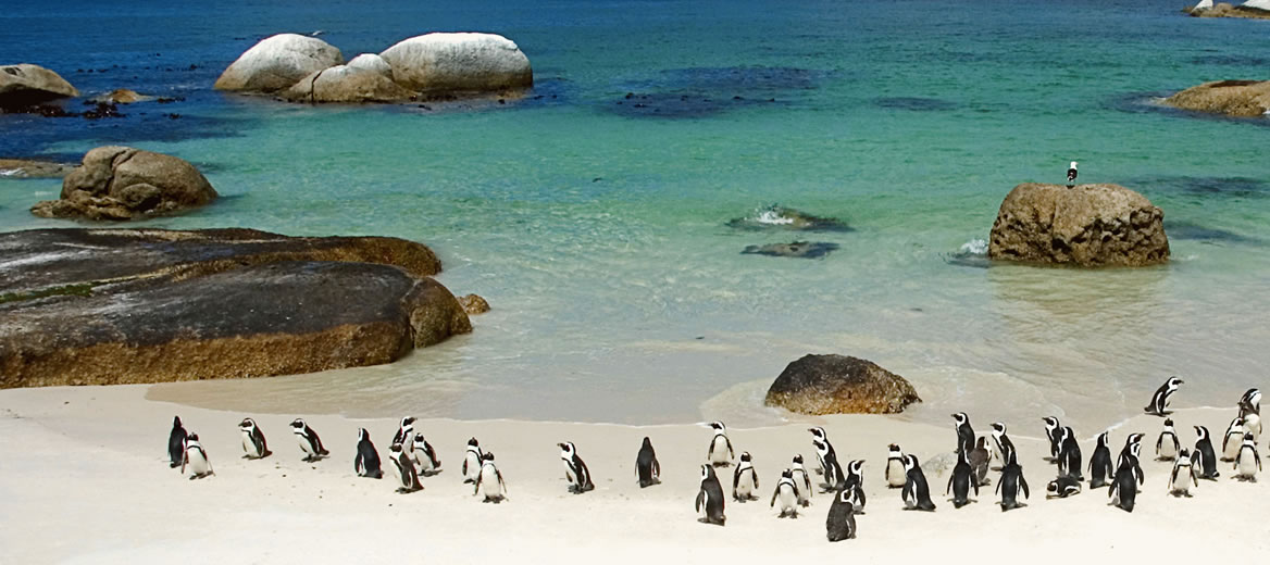 Simon's Town - penguin colony